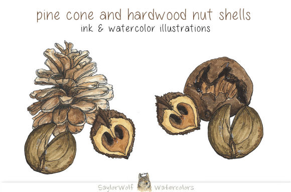 Pine Cone And Hardwood Nut Shells by SaylorWolfWatercolors is available from CreativeMarket for $6.