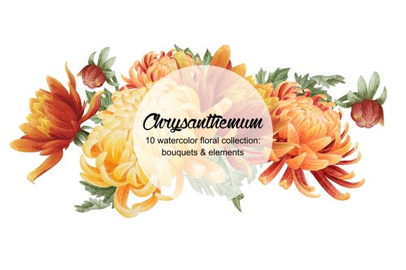 Set Of Watercolor Chrysanthemum by Curlyfamily is available from CreativeMarket for $6.