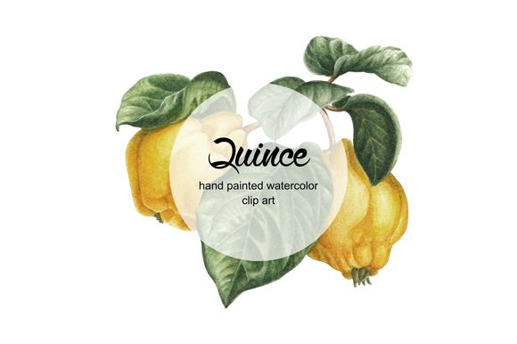 Watercolor Quince by Curlyfamily is available from CreativeMarket for $2.